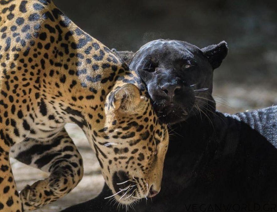 Αττικό-Ζωολογικό-Πάρκο-θανάτωσαν-δύο-τζάγκουαρ-την-Jenny-και-τον-Spotty
