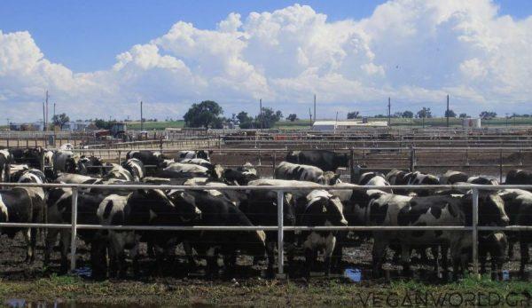 ΝΕΑ ΕΡΕΥΝΑ Στη κτηνοτροφία και στα γαλακτοκομικά οφείλετε το 83% της καταστροφής του περιβάλλοντος