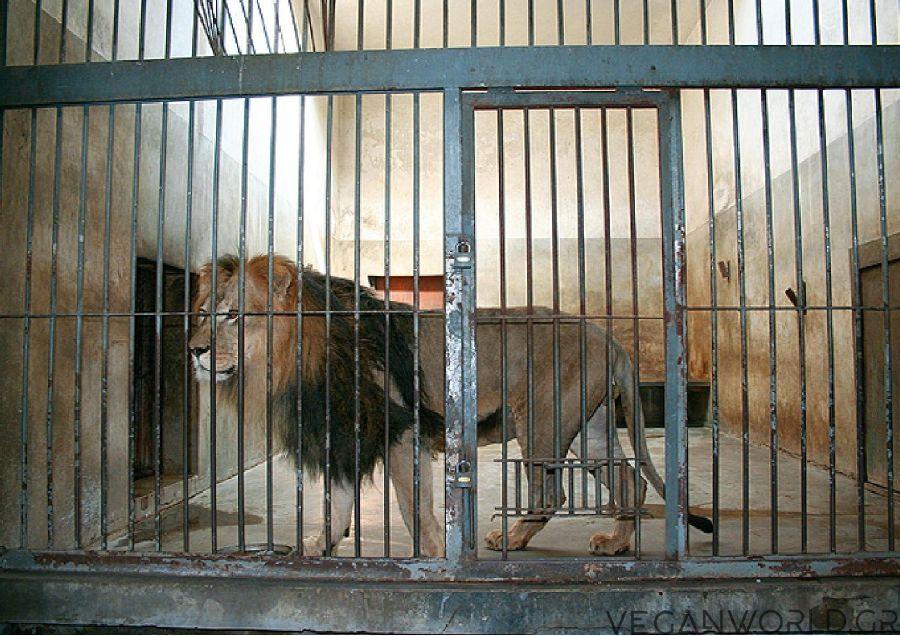 λιοντάρια κλειδωμένα ακόμα και για 18 ώρες την ημέρα