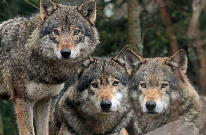 Καλιφόρνια απαγόρευση παγίδευσης ζώων για την γούνα τους