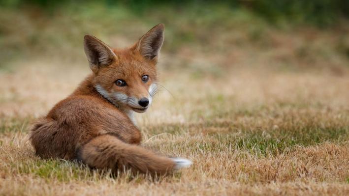 Η Καλιφόρνια απαγορεύει την παγίδευση ζώων για την γούνα τους