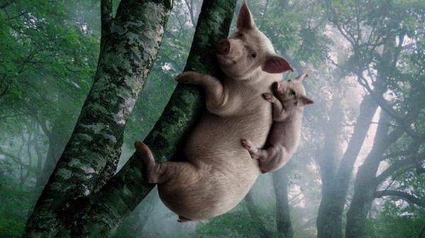 Ζώα μαζικής παραγωγής και σφαγής - Πόσο έξυπνα είναι 1. Χοίροι