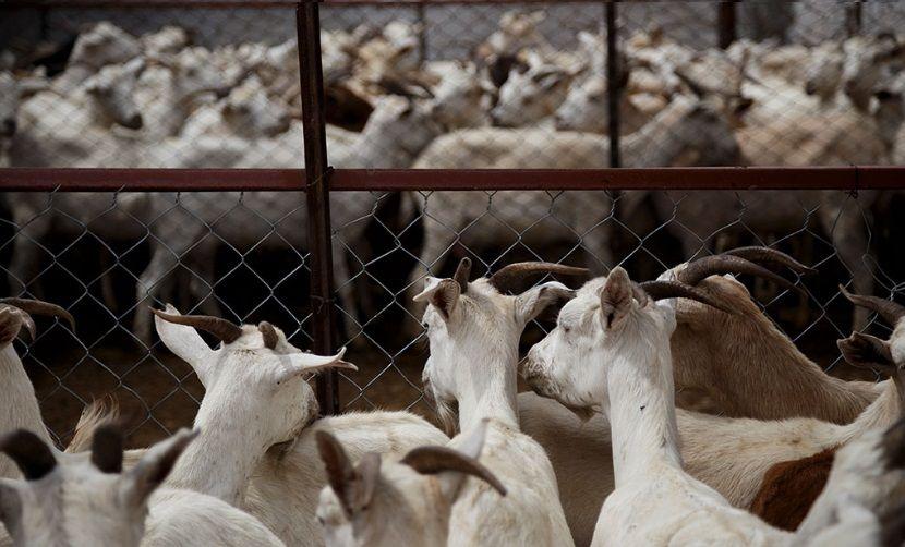 ΚΑΤΣΙΚΕΣ - Ζώα Φάρμας - μαζικής παραγωγής και σφαγής - Πόσο έξυπνα είναι