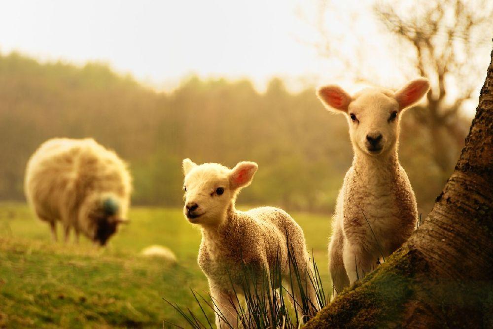 ΠΡΟΒΑΤΑ - Ζώα μαζικής παραγωγής και σφαγής - Πόσο έξυπνα είναι