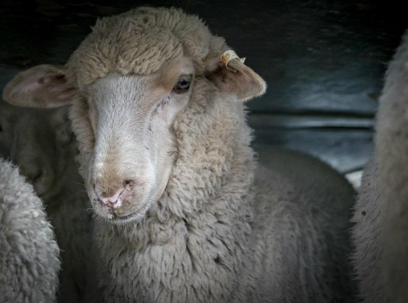 ΠΡΟΒΑΤΑ - Ζώα φάρμας- Πόσο έξυπνα είναι