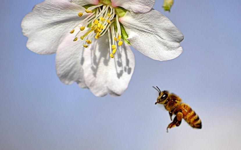 Οι τίτλοι τα αμύγδαλα σκοτώνουν τις μέλισσες είναι παραπλανητικοί