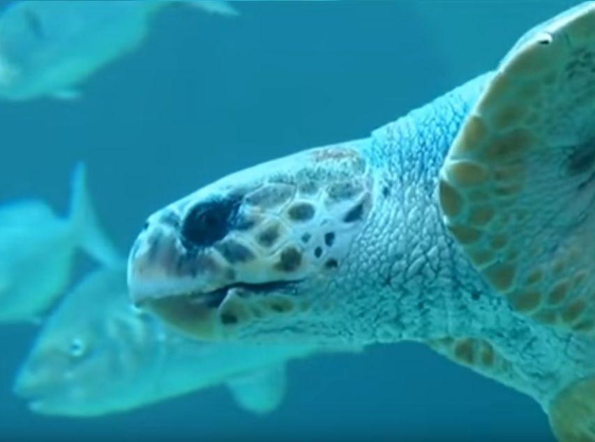 Yoshi turtle η θαλάσσια χελώνα που γύρισε σπίτι της μετά από 20 χρόνια αιχμαλωσίας