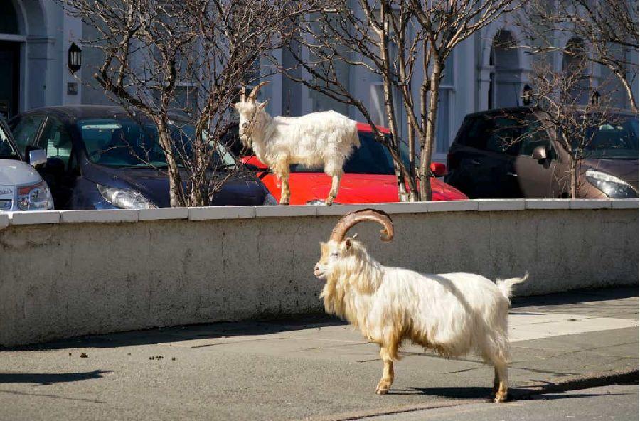 Κατσίκες βγαίνουν βόλτα ενώ οι άνθρωποι είναι σε καραντίνα λόγω του Covid-19