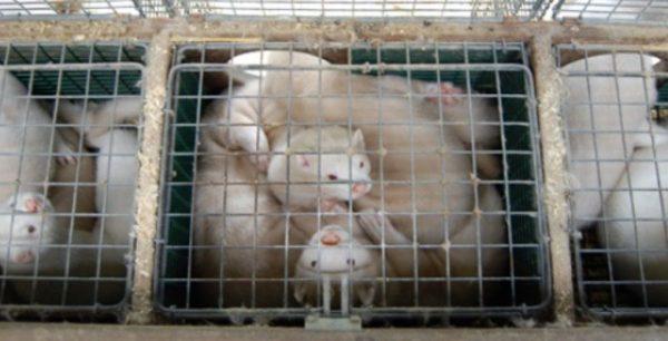 Βιζόν γούνα Ολλανδία COVID19 θάνατος