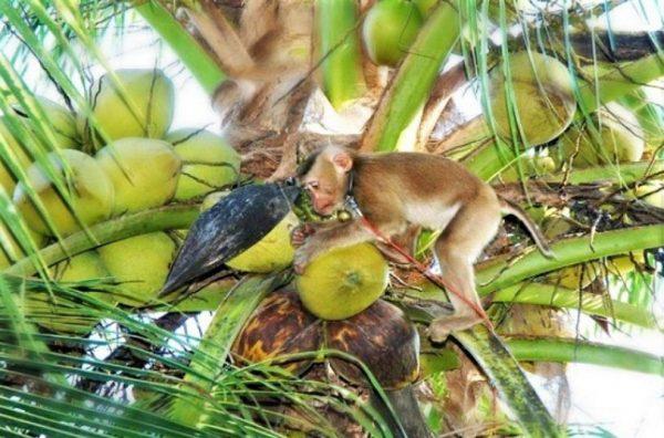 Νέα Έρευνα PETA ASIA Προϊόντα καρύδας και η Καταναγκαστική Εργασία Μαϊμούδων
