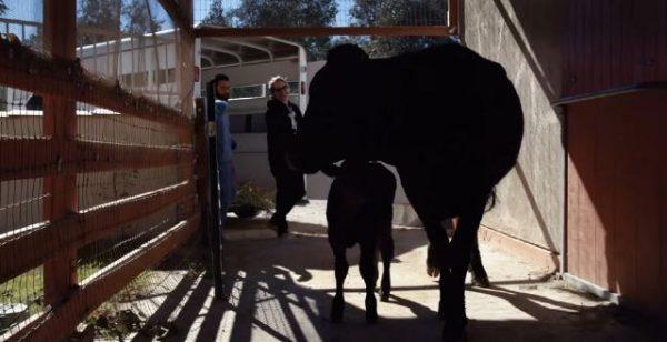 Νέο Ντοκιμαντέρ μικρού μήκους Joaquin Phoenix και ομάδα ακτιβιστών διασώζουν από την σφαγή αγελάδα και το νεογέννητο μοσχαράκι της