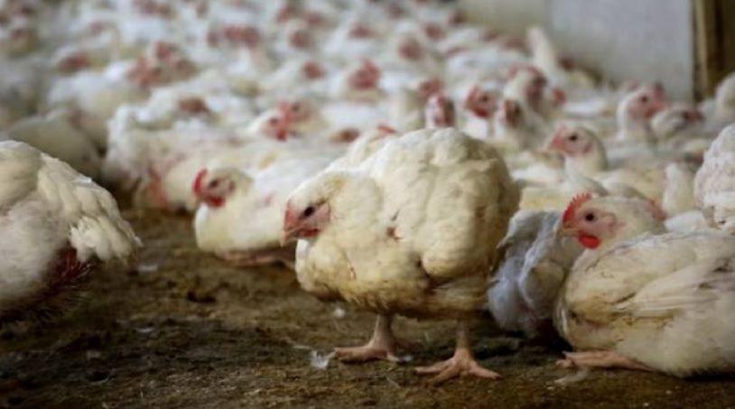Η βιομηχανία πουλερικών κερδοφορεί από παραμορφωμένα τροποποιημένα κοτόπουλα