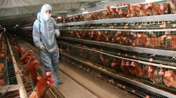 «φτηνό κοτόπουλο» νέα πανδημία αιτίες κορονοϊός