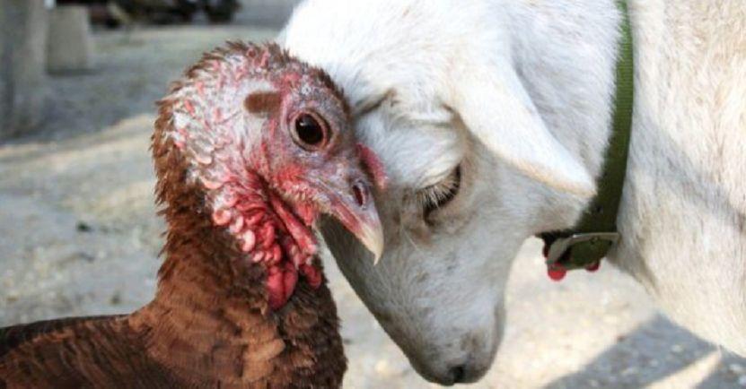 11 στοιχεία για τις γαλοπούλες που σίγουρα δεν γνωρίζεις thanksgiving