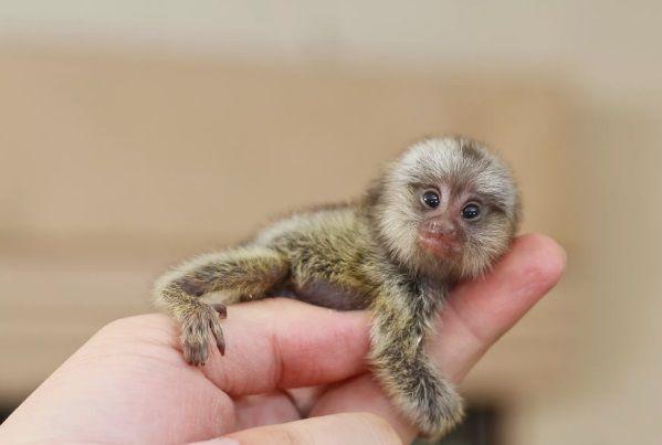 Οι Πυγμαίες Μαρμοζέτες είναι οι μικρότερες μαϊμούδες στον κόσμο