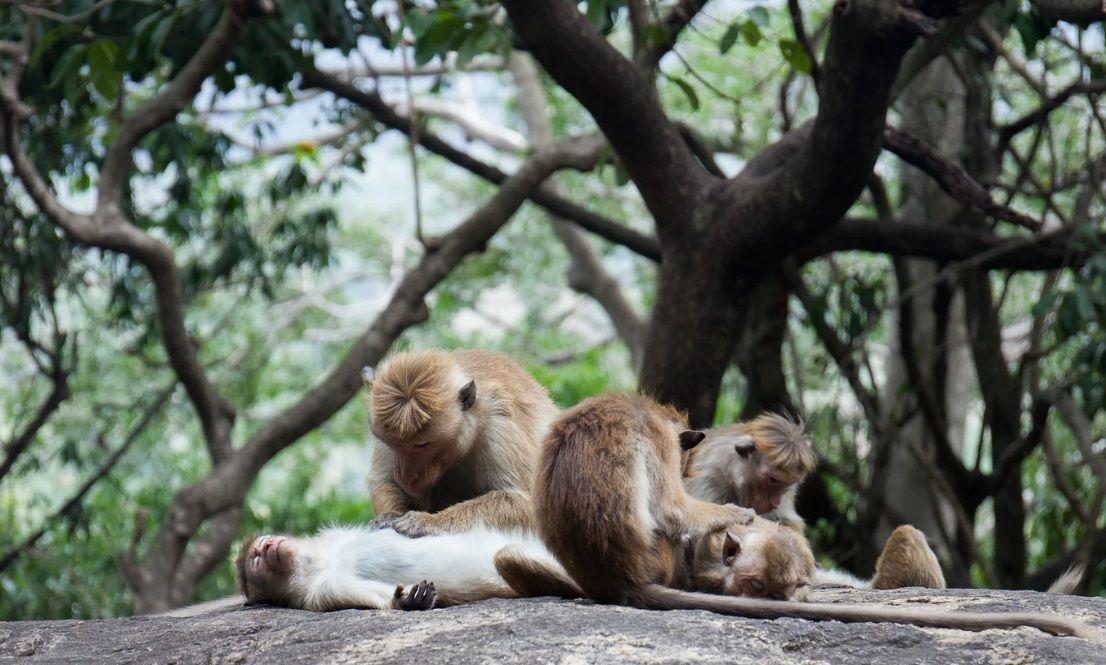 ο καλλωπισμός χρησιμοποιείται για την ενίσχυση και την επιδιόρθωση σχέσεων των μαϊμούδων