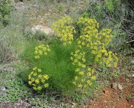 μάραθος βότανα - Βοτανική Ιατρική