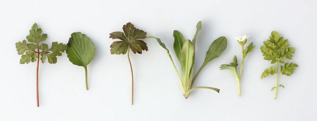 10 αντιοξειδωτικά βότανα - Βοτανική Ιατρική