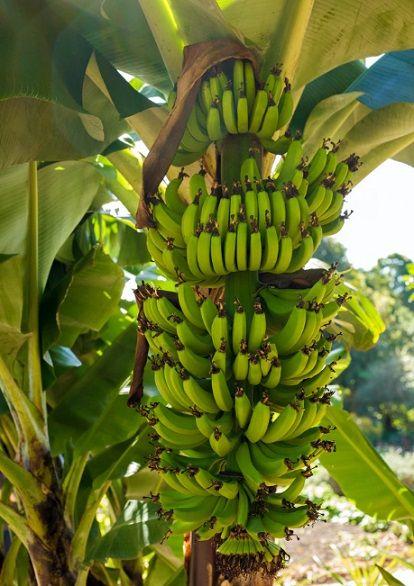 Μπανάνα vegan διατροφή ηθική Δίκαιο Εμπόριο fair trade